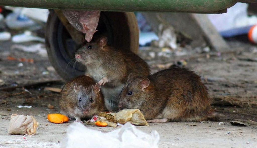 Уничтожение грызунов в Могилеве