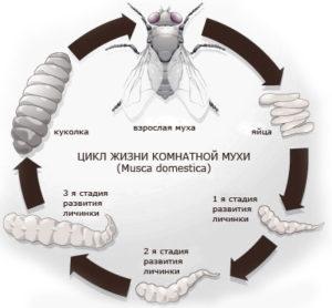 цикл жизни мух